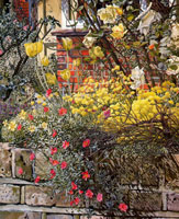 rock-roses-old-lodge-taplow-1957-by-spencer-sm